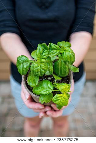 Looking Down On Young Basil Plant In Hands Of Gardener