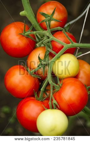 Ripe Natural Tomatoes Growing On A Branch. Growing Tomatoes In The Garden. Tomato Plant With Ripe Fr