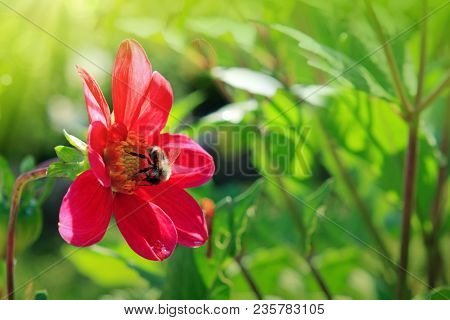 Close Up Of A Pink Dahlia Bloom Petals With Bumblebee.