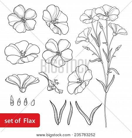 Vector Set With Outline Flax Or Linseed Or Linum Flower Bunch, Bud And Leaf In Black Isolated On Whi