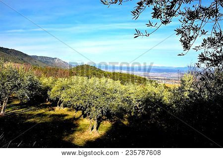 Olive Grove Overlooking Provence And The French Alps