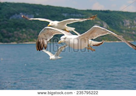 White Gulls Fly Over The Sea. White Big Seagulls Fly Over The Sea, Seagulls Close-up.