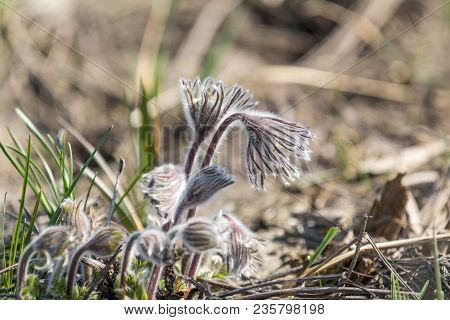 Beautiful Spring Violet Flowers Background. Eastern Pasqueflower, Prairie Crocus, Cutleaf Anemone