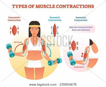 Muscle Contractions Scheme With Arm Cross Section And Fitness Weight Lifting Exercise Movement. Conc