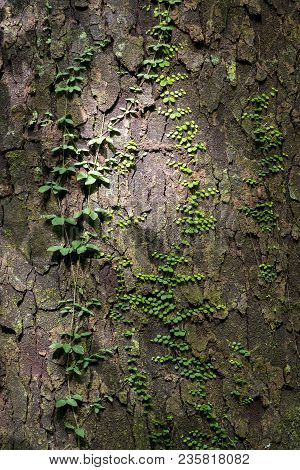 Green Vines Growing On Tree Bark As Natural Background Texture