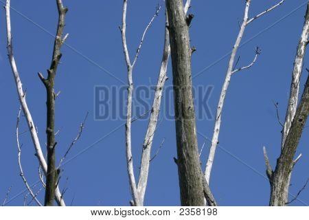 Adied Trees