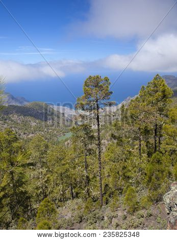 Gran Canaria, March, Tamadaba Nature Reserve, Pine Forest