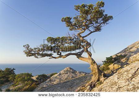 Relict Juniper (juniperus Excelsa) Against A Cloudless Sky. Top Of Karaul-oba, Novyy Svet, Crimea.