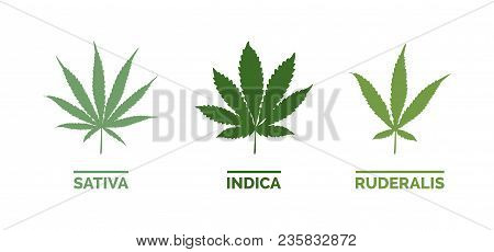 Cannabis Sativa, Indica And Ruderalis Leaves On White Background