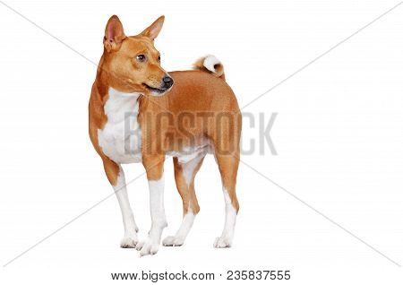 Basenji Dog In A White Studio Looking Back To The Copy Space Area With A Barking Grimace
