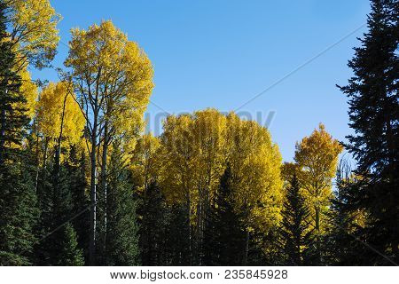 Colorful Arizona Quaking Aspen And Pine Forest In Autumn Along The Kachina Trail Near Flagstaff