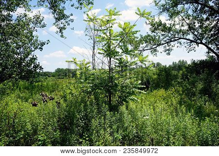 A Tree Of Heaven (ailanthus Altissima) Grows In The Rock Run Preserve Of The Will County Forest Pres