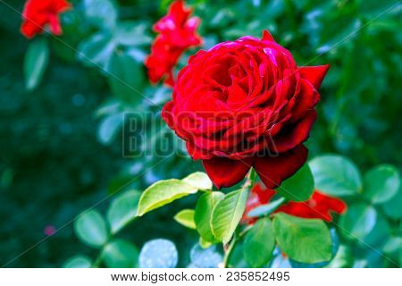 Floral Background With Red Rose Flower, Close Up. Rose Flower, Close Up Of Beautiful Rose Flower In