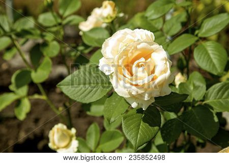 Floral Background With Yellow Rose Flower, Close Up. Rose Flower, Close Up Of Beautiful Rose Flower