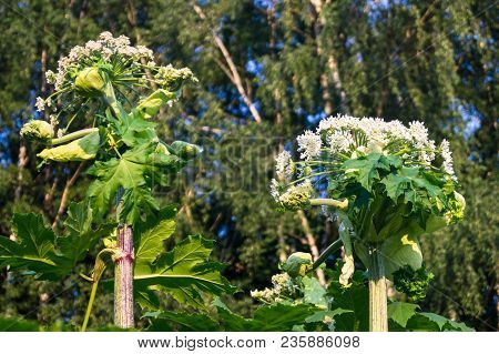 Blooming Inflorescence Of Giant Hogweed, Poisonous Weed, Outstanding By Its Aggressive Spreading, Po