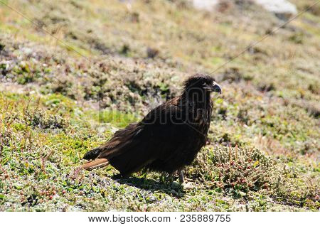 An Exceptionally Rare Bird That Only Breeds On The Remote Outer Islands Of The Falklands, The Striat