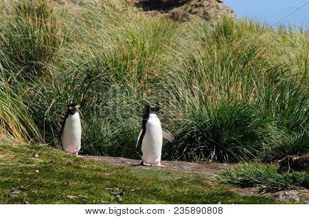 Indecisive Rock Hopper Penguins On The Penguin Highway At Westpoint Island.