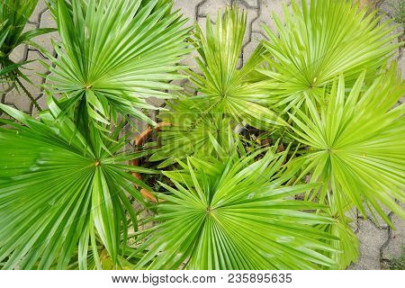 Top View Saw Palmetto.  Abstract Leaves Texture. Natural Green Wallpaper Concept.