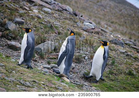 Fortuna Bay, South Georgia, Is Home To One Of The Largest King Penguin Rookeries On The Island. Here