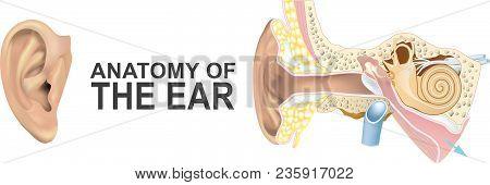 Anatomy Of The Ear. Illustration Human Body Part.