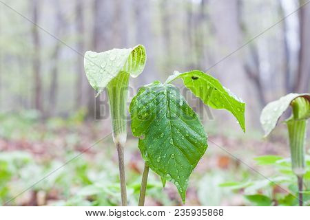 Green Jack-in-the-pulpit Plant In Woods With Green Leaf. It Is Early Spring, And The Leaves Have Lit