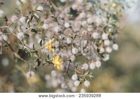 Blooming Larrea Tridentata Plant. Small Yellow Flowers Of Creosote Bush