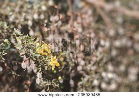 Blooming Creosote Bush. Background With Larrea Tridentata Plant