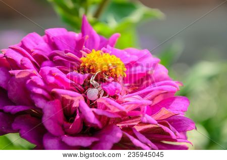 A Small White Spider Crab Hid Among The Dense Petals Of A Red Flower