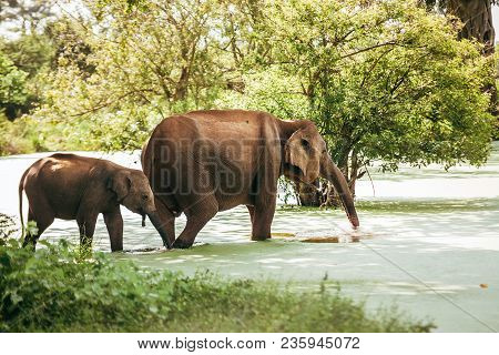Mother And Baby Elefants Go Drink Water From Pond In National Nature Park Udawalawe, Sri Lanka