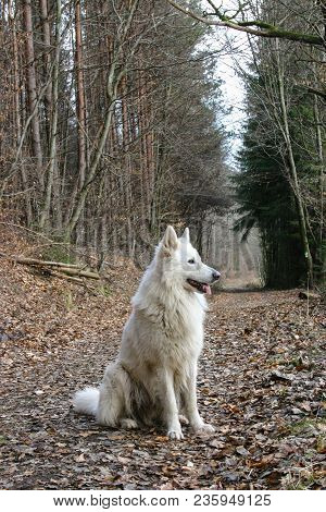 White Male Wolf In A German Forest In Winter Looking In The Broader Distance Waiting