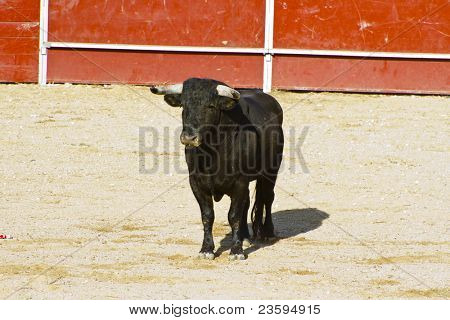 Spanish bull. Bullfight. Animal of great strength and nobility