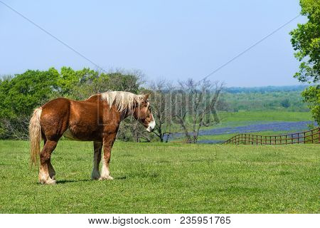 Belgian Draft Horse Standing On Green Texas Spring Pasture. A Fence, Trees, And Bluebonnet Field Bac