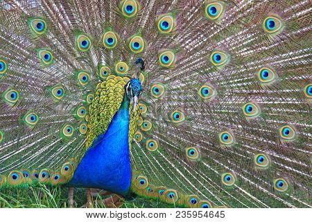 The Male Peacock Dissolved Bright Feathers. Wild Animal World.