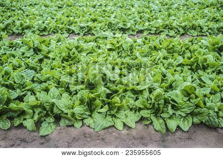 Young Spinach Plants At Vegas Bajas Del Guadiana Farmland, Spain