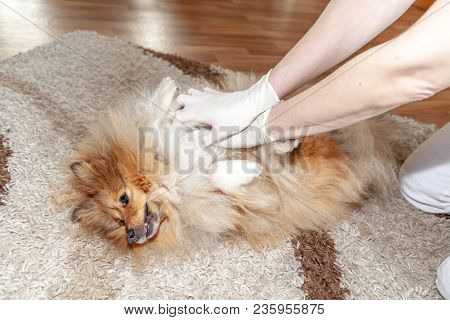 First aid reanimation on a small shetland sheepdog poster