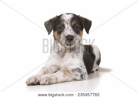 Cute Australian Shepherd Australian Cattle Dog Mix Puppy Lying Down Looking At The Camera On A White