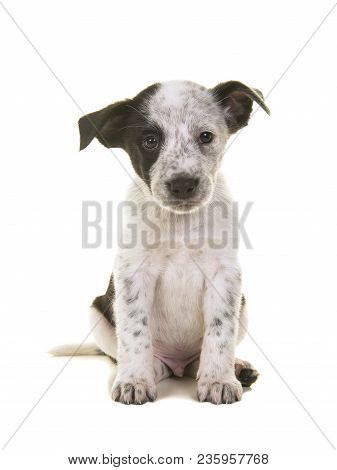 Cute Australian Shepherd Australian Cattle Dog Mix Sitting And At The Camera On A White Background