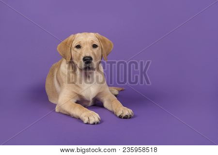 Blond Labrador Retriever Lying Down Looking At The Camera On A Purple Background
