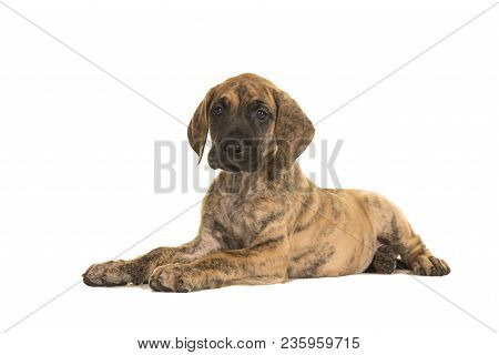 Cute Brindle Great Dane Puppy Lying Down Isolated On A White Background