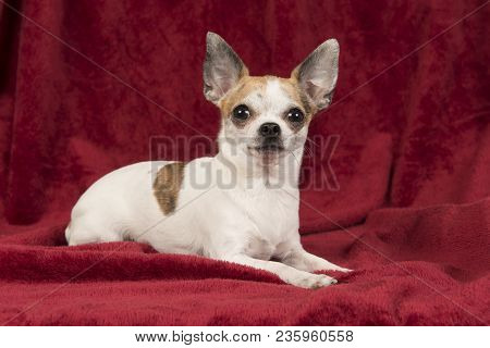 Cute Chihuahua Lying Down On A Red Velvet Background