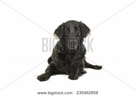 Black Flatcoat Retriever Dog Lying Down Looking At Camera Seen From The Front On A White Background