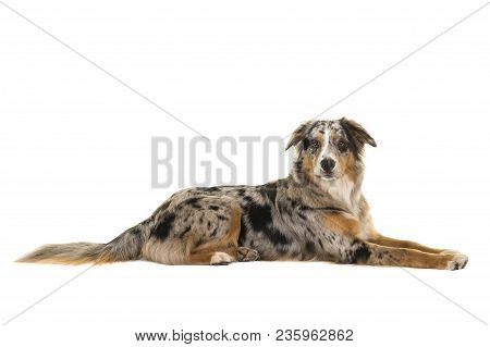Pretty Lying Down Blue Merle Australian Shepherd Dog Seen From The Side Looking At The Camera Isolat