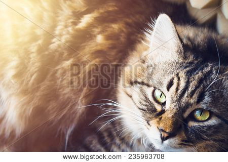 Recumbent Cat Looks Up. Top View. An Image Of A Fluffy Grey Striped Cat With Yellow Eyes Lying On Th