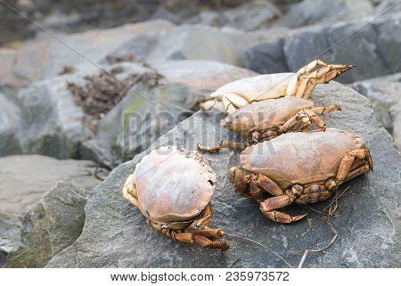 Three Large Crabs Sitting On Grey Rocks