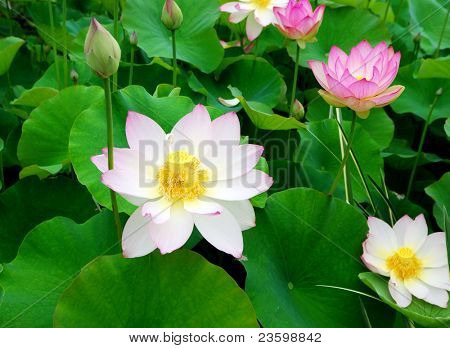 Water lilies in a peaceful pond
