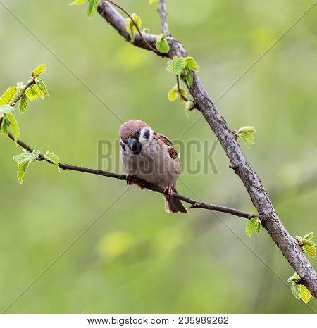 Eurasian Tree Sparrow (passer Montanus) Sitting In A Tree