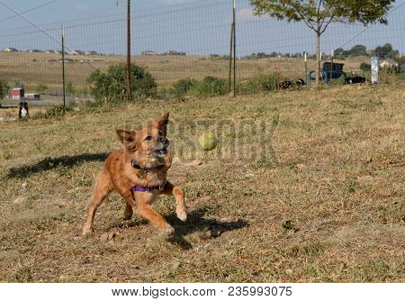Brown Mixed Breed Dog Chasing Ball As It Bounces In Mid Air At Dog Park