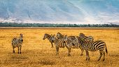 Herd of zebras in the Ngorongoro Crater, Tanzania. poster