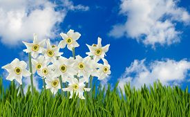 Image Of Beautiful Flowers Narcissus In Garden Closeup
