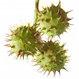 Isolated Image Of Chestnut With Thin Prickly Spikes Closeup